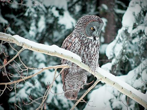 Owl-1sp