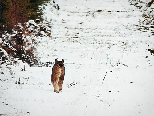 Lynx_crop2a